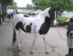 marwari horse care and horse facts on the marwari sport horse