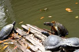 yes these turtles are still alive peta