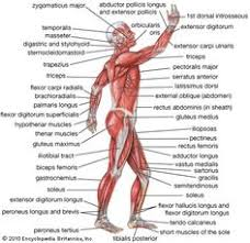 The Human Anatomy Muscles Diagram Back Muscles Upper Back Human Anatomy Diagram U2013 Anatomy