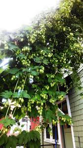 135 best hoppy goodness images on pinterest gardening trellis