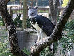 harpy eagle facts top 10 facts about american harpy eagles
