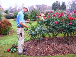 coming up roses expert rose advice from witherspoon rose culture
