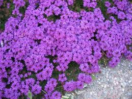 houston flowers pasadena florist spotlight purple top verbena houston flower expert