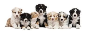 pictures of australian shepherds 200 adorably cute names for your australian shepherd puppy