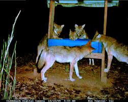 deer won u0027t eat my corn georgia outdoor news forum