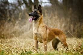 belgian sheepdog types 15 best watch dog breeds u2013 iheartdogs com