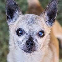 bluetick coonhound rescue california el cajon ca pet adoption four paws coonhound rescue u0026 friends