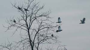 flock of frightened birds flying away from bare treetop pigeons and
