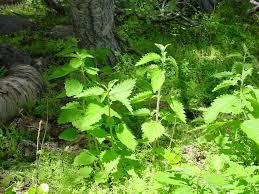 native plants in oregon notes on ethnobotany in western oregon