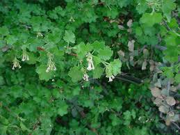 vascular plants of the gila wilderness vascular plants of the gila wilderness ribes cereum