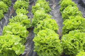 how to plant and grow lettuce
