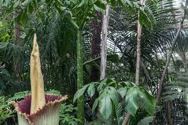 the corpse flower bloom at new york botanical gardens u2014 homestead