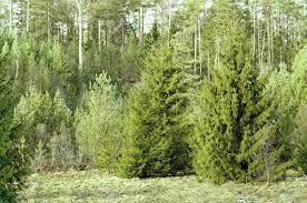 forest with norway spruce picea abies evergreen conifer famous