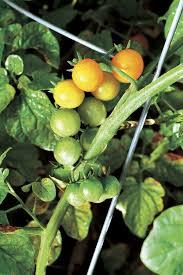 growing trouble free cherry tomatoes vegetable gardener
