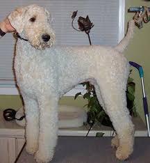 standard poodle hair styles standard poodle grooming styles poodle forum standard