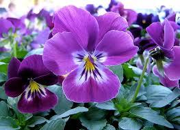 fiori viola viola viola hybrida piante annuali come coltivare la viola