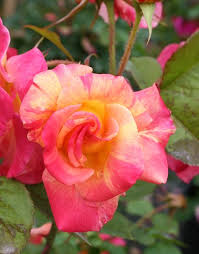 394 best climbing and rambling roses images on pinterest