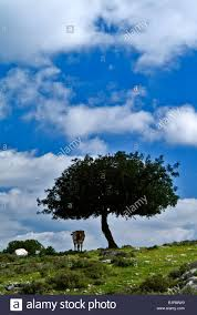lonely cow lonely small oak tree stock photo 18346300 alamy