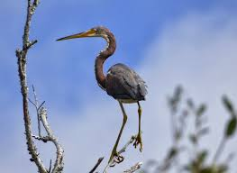 South Carolina birds images Birds on the brain birding coastal south carolina with the jpg