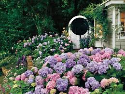 hydrangea flowers the complete guide to hydrangeas southern living