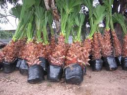 mexican fan palm growth rate adams gardens wholesale nursery our palms