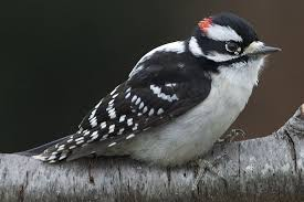 Ontario Backyard Birds How To Attract Woodpeckers To Your Yard