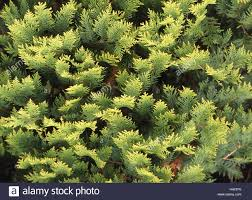 tree thuja spec detail twigs plant shrub hedge plant