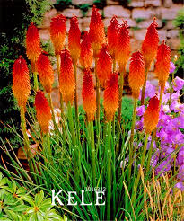Flower Seeds Online - compare prices on kniphofia flower seeds online shopping buy low