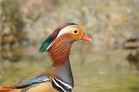 free images male wildlife beak color colorful fauna
