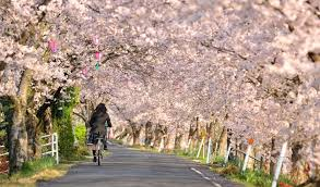 cherry blossoms are helping this japanese town shake tsunami sorrow