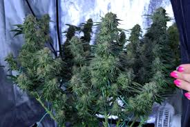 best grow tent reviews 2017 top rated grow tent 2017