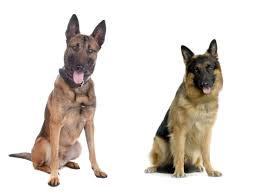 belgian sheepdog vs german shepherd police dogs die in baking car officer reportedly attempts