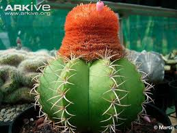 turks cap s cap cactus photo melocactus matanzanus g143957