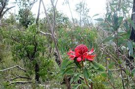 native australian flowering plants native australian flowers and landscapes recherche google