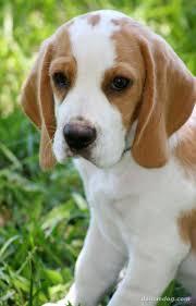 best 25 lemon beagle ideas on pinterest beagle puppy beagle