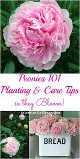 where to buy peonies how to plant peonies so they bloom