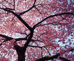 images about cherry blossom tree on blossoms and cherries