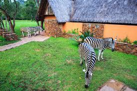 my little zebra fast forward ozy