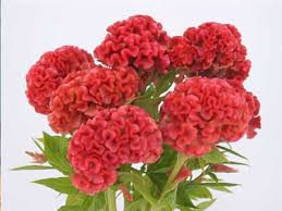 coxcomb flower orange cockscomb baker creek heirloom seeds