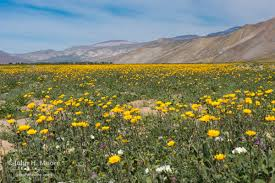 Flowers Anza Borrego Early 2017 Wildflowers John H Moore Photography