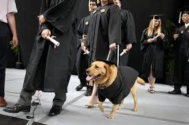 dog graduation cap and gown dog graduation cap and gown also wearing a cap and gown noble