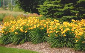 stella daylily buy stella de oro daylily for sale online from wilson bros gardens