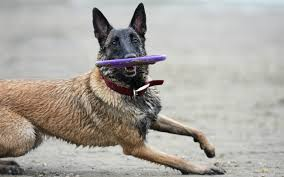 belgian malinois water 6 reasons to have a belgian malinois as your workout buddy