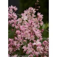 proven winners 1 gal yuki cherry blossom deutzia live shrub