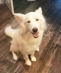american eskimo dog brown max adopted dog clearwater fl siberian husky american