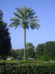 sylvester palm tree price buy medjoole date palm trees for sale in orlando kissimmee