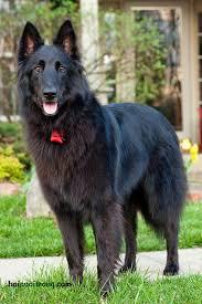 belgian shepherd black belgian shepherd history personality appearance health and pictures
