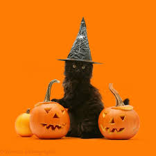 black maine coon kitten with halloween pumpkins photo wp18226