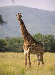 giraffe wikipedia