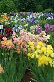 best 25 iris garden ideas on pinterest iris flowers bearded